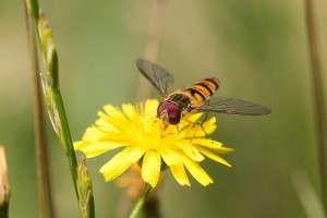 Marmalade hoverfly by Ashley Beolens