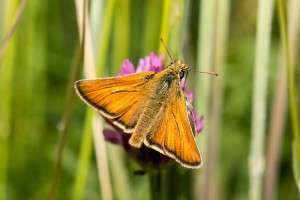 Small Skipper by Ashley Beolens