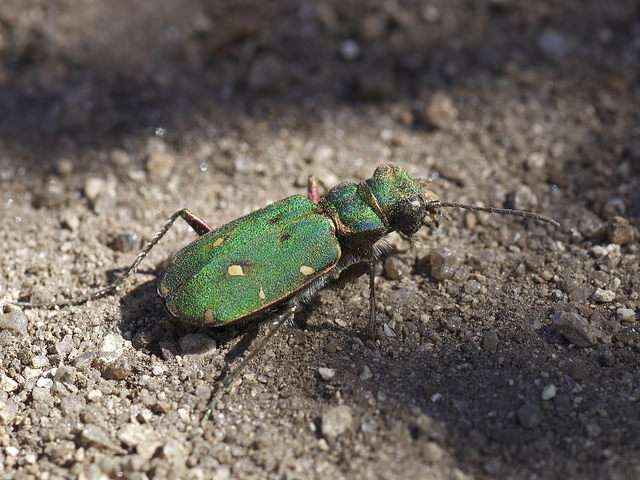 Green Tiger Beetle (photo credit: Jonathan Clark)
