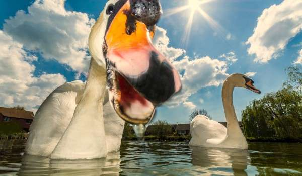 swan poser b